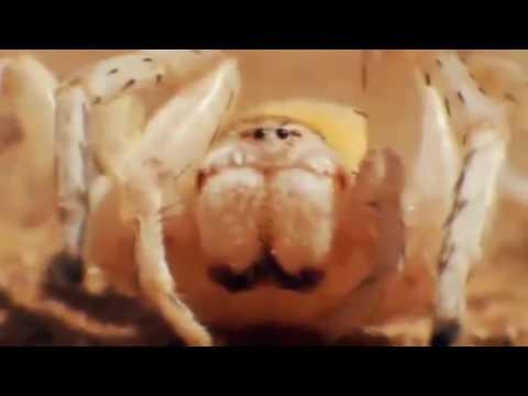 Vosa vs. pavouk