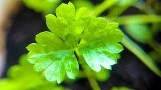 How to Grow Cilantro Indoors from Seed | Dhania Coriander