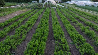 No Till Carrot Strategies For Spring And Summer