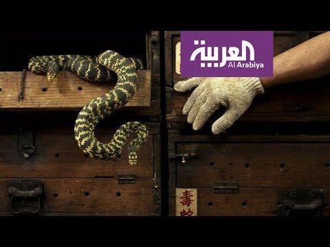 العرب اليوم - شاهد: أبحاث علمية تتوصل لعلاج لدغات الثعابين السامة