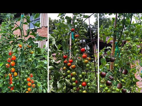 , title : 'Top 3 Cherry Tomatoes You NEED to Grow!