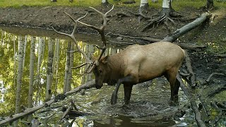 AMAZING Archery Elk Hunt In Colorado - Mike Campbell - Bonehead