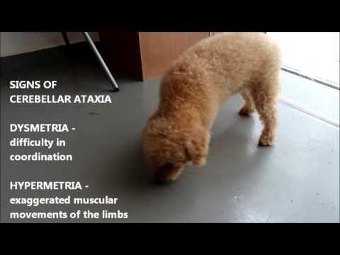Video Neurological Disease.  Cerebellar Ataxia in an older poodle