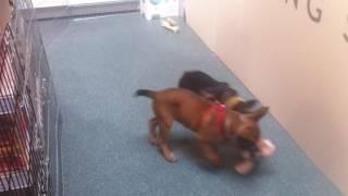 cute puppies playing dizzy tug of war