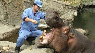 カバの歯磨き~そしてお食事の時間(陸上&水中)天王寺動物園 Brushing the Hippo's Teeth and meal time at Tennoji Zoo