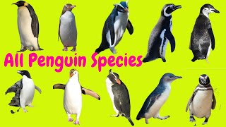 ALL CUTE PENGUIN SPECIES WITH NAMES A TO Z