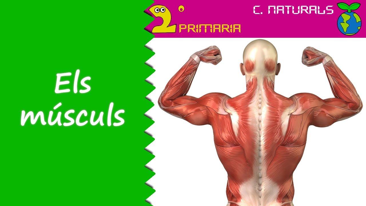 Ciències de la Naturalesa. 2n Primària. Tema 2. Els músculs