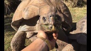 LIVE: Giant Tortoise Eating Snacks ASMR | The Dodo LIVE
