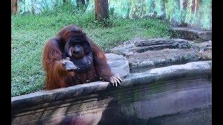 Orangutan asks for banana, throws back peel