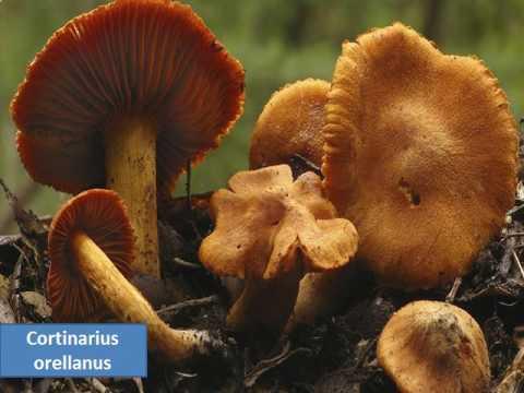 Unghie di aceto da un fungo