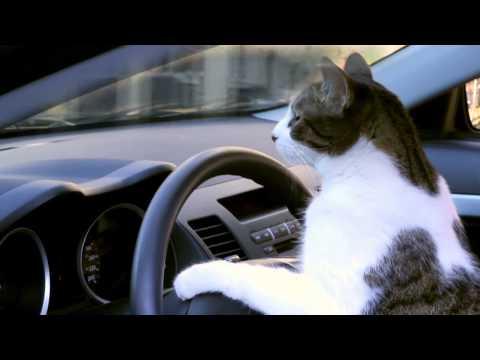 NAVER まとめ車を運転する猫が可愛すぎて危険