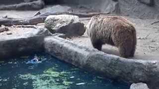 Бурый медведь из зоопарка Будапешта  спас ворону
