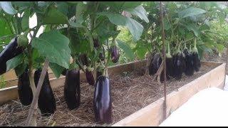 Смотреть онлайн Советы садовода по выращиванию баклажанов и перцев