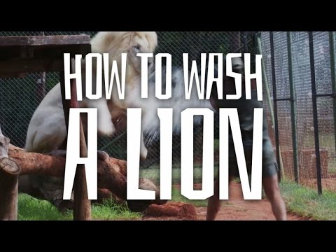 Lions Don't Like Showering! - The Lionman One World