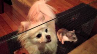 Chihuahua Loves Her Pet Hamster