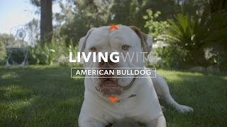ALL ABOUT LIVING WITH AMERICAN BULLDOGS