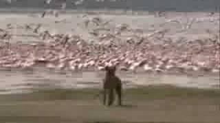 preview picture of video 'Hyena Hunt Lake Nakuru'
