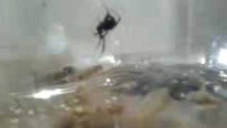 Killer Black Widow