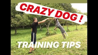 5 TRAINING TIPS | AUSTRALIAN CATTLE DOG (BLUE HEELER)