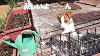 ジャックラッセルテリアのメル君🐕初めてのお留守番/5ヶ月🙃😊 Jack Russell Terrier