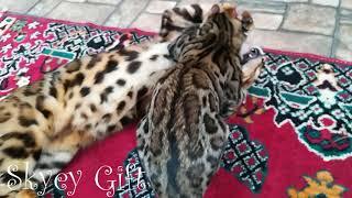бенгальская кошка, бенгальские котята, питомние бенгальской кошки ,Bengal kittens,cattery bengal cat