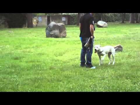 Taylor, Dogo Argentino di 5 mesi, con il suo proprietario.