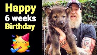 Happy Birthday Puppies!! RAW FOOD Birthday Feast - 6 Weeks