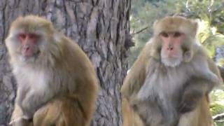 preview picture of video 'Murree, Ayubia : Monkeys gather to get corn'