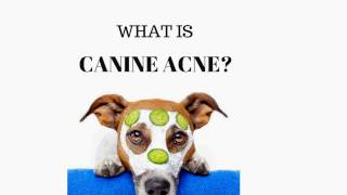 Skin Dermatitis In Dogs: Canine Acne