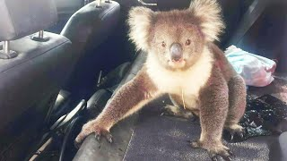 Koala Bear Cools Off in Car