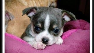 Chihuahuas Des Petits Aztèques - 1er Cours De Statique Pour Un Chiot Et Un Enfant