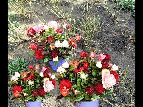 Отличный проверенный способ для продления свежести срезанных роз.