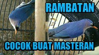 Burung Rambatan Gacor | Joss Untuk Masteran
