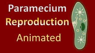 Reproduction   Ciliate Protozoans   Paramecium