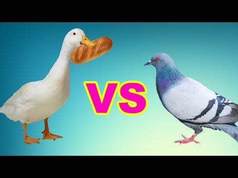 Голодные утки. Голуби нас атакуют. Дайте мне хлеб. Я хочу есть