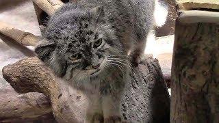 めっちゃ見てくるマヌルネコ 「ユス」(上野動物園)Pallas's Cat Stared Back