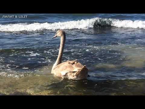 #море #животные #птицы  Гадкий утёнок. Парень молодой!