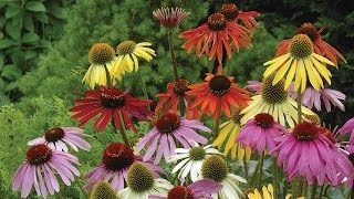 Planting and Growing Perennials
