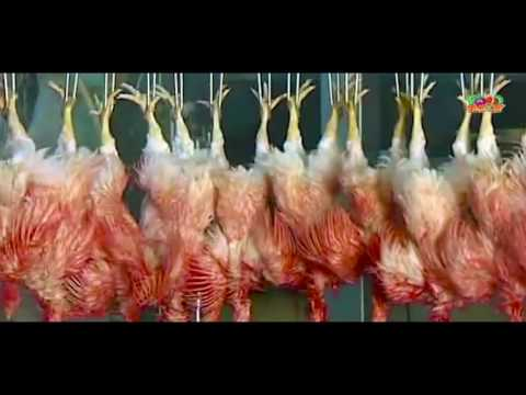 automatic chicken processing plant