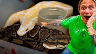 HOW I BREED SNAKES!! | BRIAN BARCZYK by Brian Barczyk