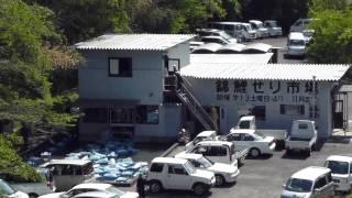 徳島で遊ぶ 錦鯉せり市場