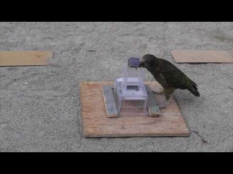 Problem solving - Object Exploration in Kea and Crows