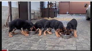 Самые толстые щенки в Одессе. Щенки немецкой овчарки 2 мес. Odessa.