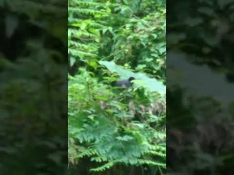 7月22日黑熊寶寶出現於南安瀑布廁所後方山坡草叢(16_17秒處)