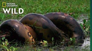Anaconda Devours Huge Meal   Monster Snakes