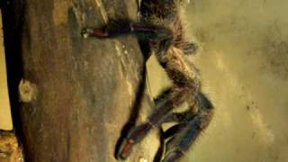 Avicularia fasciculata