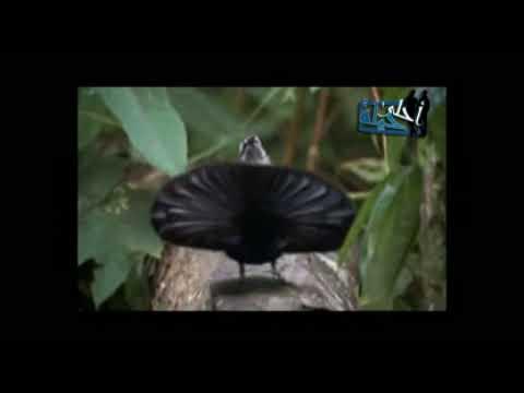الطائر الدنجوان – طائر يتجمل لزوجته ويغازلها