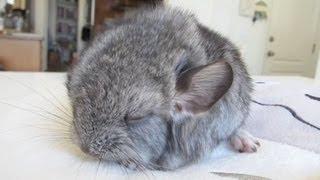 Cute Baby Chinchilla Noises!