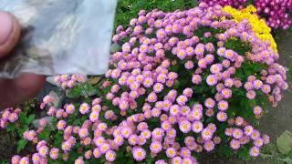 Сбор семян с бархатцев видео