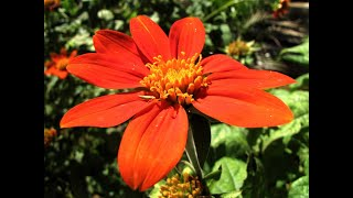 1249 - Full information - Tithonia / Mexican Sunflower / How to grow & care Tithonia